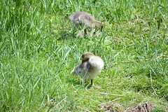 Greylag gosling (EXPLORE) (snappyslug) Tags: bird nature animal outside outdoors geese nikon outdoor wildlife goose waterfowl greylag rspb d3200