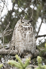 Great Horned Owl (Male) (jrlarson67) Tags: wild brown bird nature beautiful beauty animal fly wings nikon nocturnal natural outdoor wildlife great feathers feather owl wise prey gho predator creature avian d500 feathered bubo horned talons virginianus