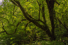 Spiral Tree (JustinMullenPhotography) Tags: travel trees light wild summer sky sun tree green nature beautiful beauty forest spiral outside outdoors washington moss day branch pacific northwest outdoor path branches trails hike serene paths wilderness pnw mossy mystic crooked