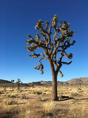 Joshua Tree (Sam Howzit) Tags: california trees tree nature outdoors nationalpark desert joshuatree joshuatreenationalpark