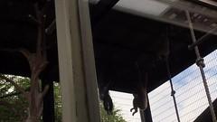 (yuki_alm_misa) Tags: animal lar   hylobates  ishikawazoo largibbon