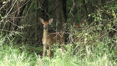 Fawns (Steve Byland) Tags: baby mammal deer panasonic fawns whitetailed 4k odocoileus virginianus vx870