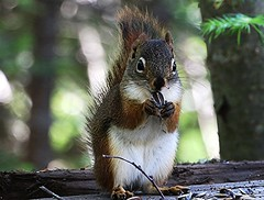 cureuil roux, Red Squirrel (francepar95) Tags: nature forest natural seed fort roux bois environnement redsquirrel cureuil sunflowerseed grainesdetournesol