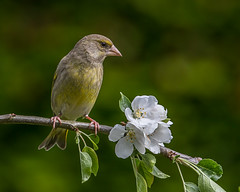 Greenfinch in the Apple Tree (Andy Morffew) Tags: greenfinch blossom appletree perched itchenabbas hampshire england andymorffew morffew naturethroughthelens
