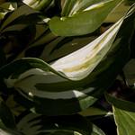 Franklin, hosta sp, variegated, jdy186 XX201007054523.jpg thumbnail