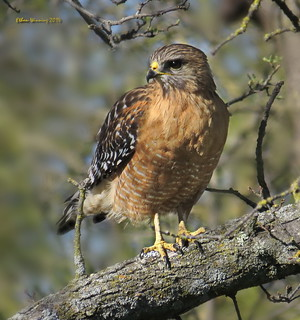 Western Red-shouldered Hawk