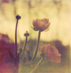 ... (Catherine...) Tags: color film analog polaroid sx70 ranunculus scan instant analogue argentique lightroom ranuncul artlibre colorshade impossibleproject
