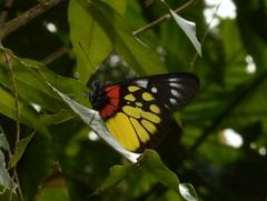Delias pasithoe (Linnaeus, 1767) Pieridae-Red-base Jezebel-ผีเสื้อหนอนกาฝากใต้ปีกแดง
