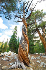 Twisted Juniper (Xuberant Noodle) Tags: california ca tree dead twist alive twisted juniper gnarled gnarl