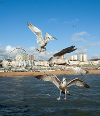 Brighton Seagulls_04 (Colleen Slater) Tags: blue autumn sea sky seagulls white bird nature birds clouds grey fly flying wings october brighton bright wildlife seagull gull gulls feathers windswept seafront larusargentatus seabird scavenger feathered herringgull 2014 laridae omnivorous swooping