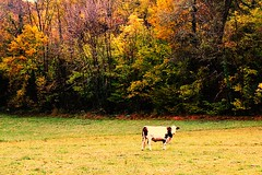 Vache - Dordogne (de Provence et d'ailleurs) Tags: automne dordogne arbres fort bois vache prigordnoir