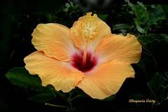 Hibisco/Hibiscus (Altagracia Aristy Sánchez) Tags: hibisco hibiscus altagraciaaristy
