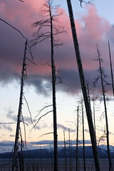 the standing dead (shoots canons) Tags: pink blue autumn trees sunset sky lake tree fall silhouette clouds landscape rockies nationalpark cool twilight dusk horizon tranquility calm yellowstonenationalpark yellowstone chilly rockymountains serene wyoming blush snags chill tranquil snag soothing nightfall rosy gloaming darkening yellowstonelake publicland