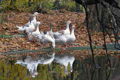 The surface of water (bbic) Tags: park autumn white lake mirror geese