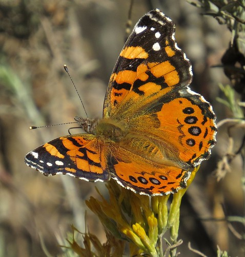 west coast lady vanessa annabella butterfly harshaw creek area