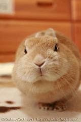 IMG_0390j (Rabbit's Album) Tags: pets cute rabbit bunny animals coco netherland       canonx7i