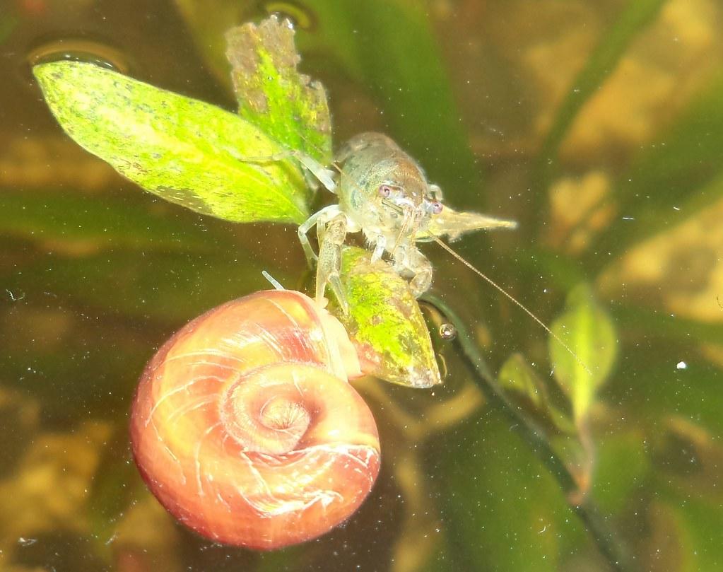 Cambarellus montezumae 01 (alfredoeloisa) Tags: crustacea decapoda ...
