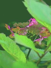 """""""So Fine""""  DSC_5654 (kluehirschSnowpine) Tags: autumn color nature contrast garden mygarden hydreangea natureasartist bloomerang"""