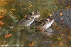 Frog Family (Holfo) Tags: uk greatbritain family wild england nature water garden spring pond nikon natural outdoor wildlife amphibian frogs eggs tadpoles trio spawn westmidlands frogspawn midlands pondlife halesowen d5100