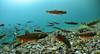 Deep in the Austrian Alps (Fish as art) Tags: char swissalps arcticchar austrianalps fishworld salvelinus charr salvelinusalpinus omble paulvecseiphotography fishasart charbiodiversity charmorphs charunderwater fishesofaustria landlockedchar