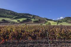 IMG_7106 (candido33) Tags: sardegna vineyard vines sardinia l