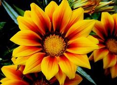 Colors (Sougata2013) Tags: india mountain flower macro nature beauty nikon hill mandi himachalpradesh nikoncoolpixl120