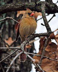 'Baby, Its Cold Outside' (RMIngramPhotos.com) Tags: nature birds nikon wildlife cardinals babyitscoldoutside femalenortherncardinal nikonphotography nikond7100 tnc14 fluffingherfeathersagainstthecold