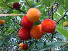 Cireretes d'arbo (gl_vic) Tags: autumn red naturaleza nature fruits yellow forest natura otoo strawberrytree tardor madroos cireresdarbo