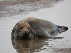 Grey Seal (Peanut1371) Tags: water mammal seal greyseal donnanook nationalgeographicwildlife