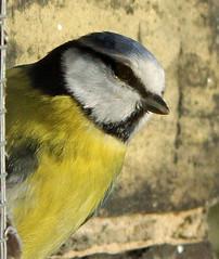 Portrait of a Blue Tit. (maggie jones.) Tags: wild london birds wall tits feeder