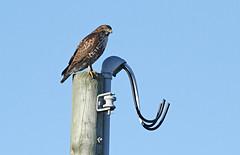 143a1c (Sue Coastal Observer) Tags: canada bird nature bc delta boundarybay birdofprey redtailedhawk
