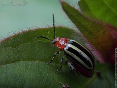 Disonycha sp. - Chrysomelidae (iagobueno) Tags: color macro closeup stripes beetle insects insetos coleoptera besouros