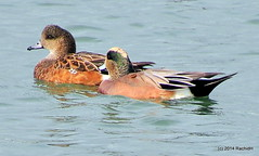 DSC_0093 (rachidH) Tags: sf sanfrancisco nature birds ducks waterfowl canard oiseaux americanwigeon anasamericana baldpate heronsheadpark canarddamrique rachidh