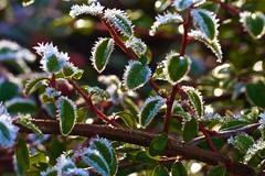 IMGL8174 (Karl Lenard) Tags: winter light green leave ice leaves licht frost blatt eis reif grun blatter