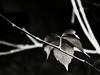 _NIK0721 (nikdanna) Tags: nature leaves foglie blackwhite natura bianconero interno7 nikdanna
