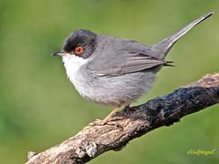 Curruca cabecinegra (Sylvia melanocephala) (1) (eb3alfmiguel) Tags: aves cabecinegra curruca insectívoros pájaros editar
