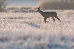 Roe Deer buck (Wouter's Wildlife Photography) Tags: winter cold nature mammal frost wildlife frosty doe roedeer billund rådyr ree zoogdier pattedyr
