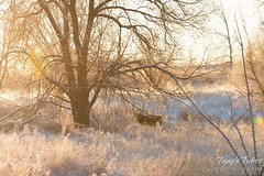 Janary 2, 2015 - A deer buck hangs out in fresh snow at sunrise. (Tony's Takes)