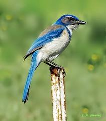 Scrub Jay   00048 (Ethan.Winning) Tags: birds northerncalifornia northamerica jays scrubjay avian walnutcreekopenspace oldborgesranch dailynaturetnc13 dailynaturetnc14 oldborgesranchtrail