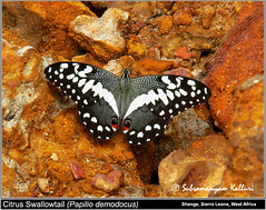 Papilio demodocus (Wandering_one) Tags: butterflies sierraleone westafrica citrus swallowtail limebutterfly papilionidae