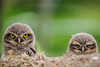 Burrowing Owls (Thelma Gatuzzo (away for a while)) Tags: bird nature animals brasil fauna sãopaulo wildlife ngc des npc raptor ave owl coruja animais silvestre athene oiseaux voegel terriers athenecunicularia burrowingowl sãoroque buho littleowl cunicularia corujaburaqueira vizcachera steenuil chevêchedathéna litteowl chevêchedesterriers kaninchenkauz chevêche lechucitavizcachera chouettedesterriers lechucitapampa thelmagatuzzo lechucitadecampo animailia thelmagatuzzophotography©