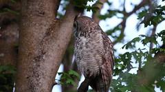 Great Horned Owl (m_Summers) Tags: bird nature outdoors backyard wildlife owl birdofprey greathornedowl marksummers
