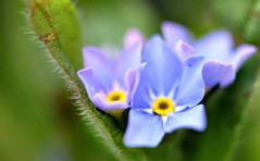 Forget-Me-Nots (CCphotoworks) Tags: landscapingplants gardenflowers spreadingplants groundovers smallflowers dainty pretty bluecolour mayflowers spring flowerbokeh bokeh macroflowers blueflowers forgetmenots ccphotoworks