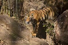 Eye to eye (Chaithanya Krishnan) Tags: summer india nikon wildlife tiger sigma ontherocks mp fearless tigercub madhyapradesh bandhavgarh comingdown summermorning wildlifephotography indianwildlife nikonphotography nikond7000 sigma1500600mm khitaulizone