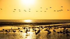 Golden Flamingos (Julien Nyczak) Tags: ocean africa sunset water birds sunrise nikon wildlife flamingos shore nikkor namibia atlanticocean namib swakopmund walvisbay namibie 1685 d7100 1685mm nikond7100