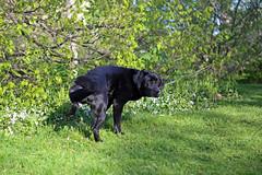 (Jean Arf) Tags: dog pee spring labrador retriever rochester buster urine highlandpark peeing 2016