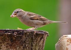 female house sparrow (2) (Simon Dell Photography) Tags: uk england simon nature birds photography pentax photos wildlife sheffield may sigma apo dell xxx dg 2016 k50 s12 hsm hackenthorpe 150500mm