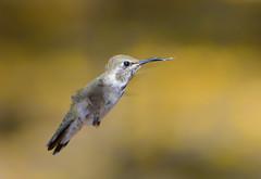 DSC_1203 (Eleu Tabares) Tags: wild bird animal flying hummingbird wildlife