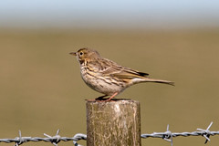 Meadow Pipit (Graham Howarth) Tags: forest walk meadow reservoir stocks circular gisburn bowland pipit