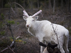White reindeer (Helen Lundberg Photo) Tags: wild white fauna forest reindeer mammal do sweden swedish deer antlers lapland to caribou animalplanet rangifer tarandus
